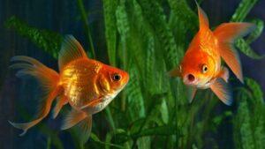 ماهی گلی در فضای منسب