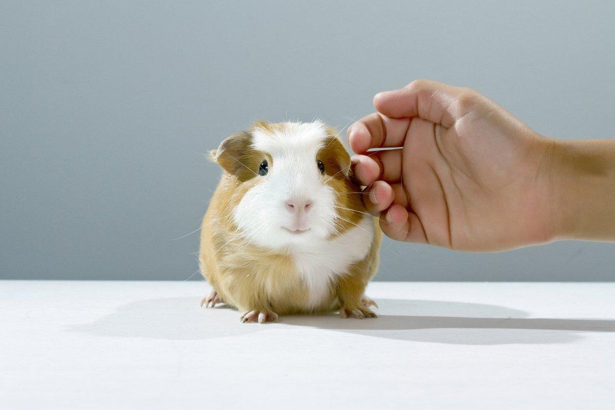 نوازش کردن خوکچه هندی