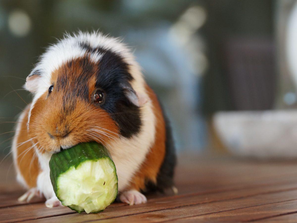 خوکچه هندی در حال خیار خوردن