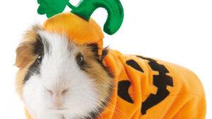 خوکچه هندی با لباس فانتزی