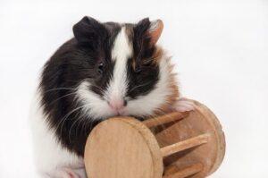 خوکچه در حال بازی