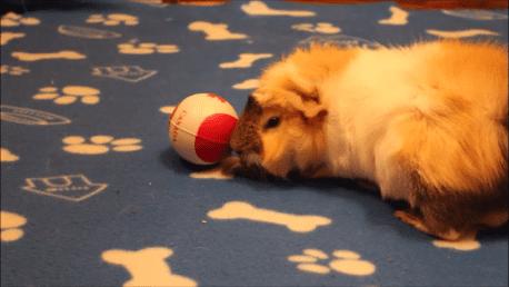 آموزش هل دادن توپ به خوکچه هندی
