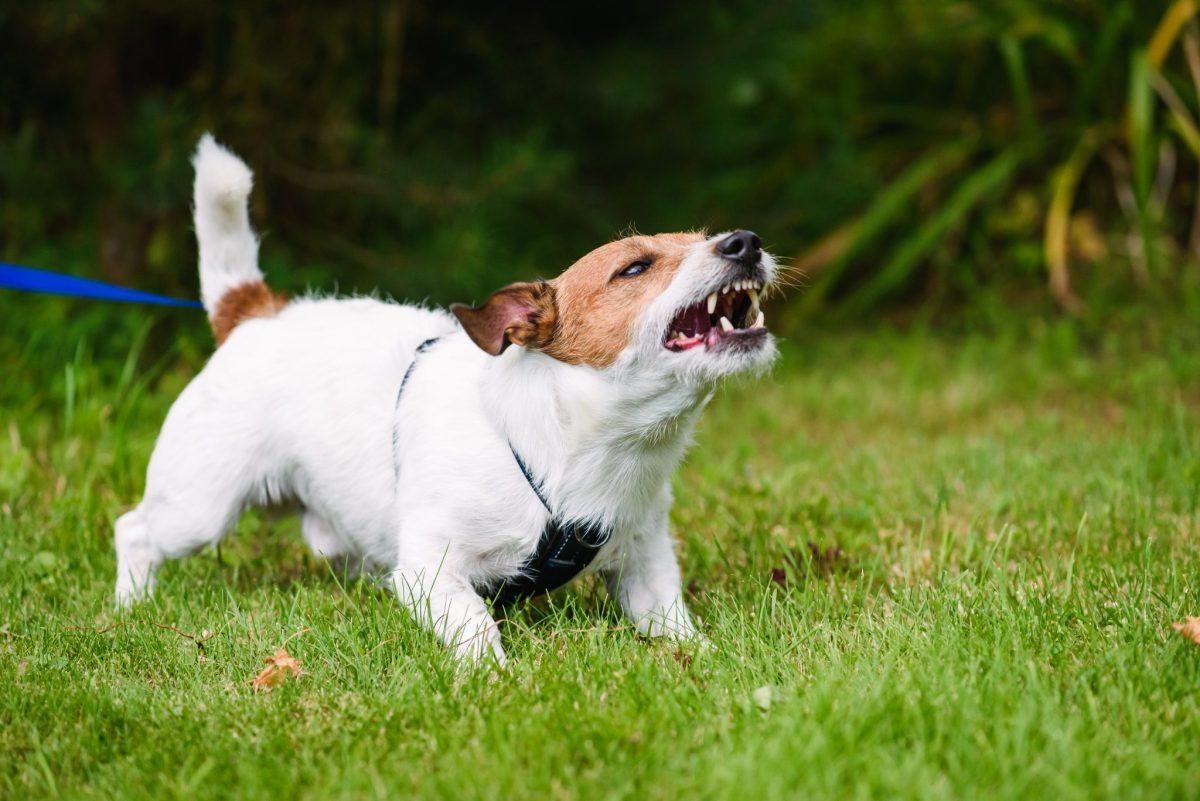 خشونت سگ