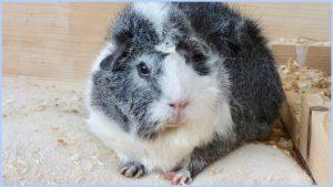 خوکچه هندی مشکی سفید