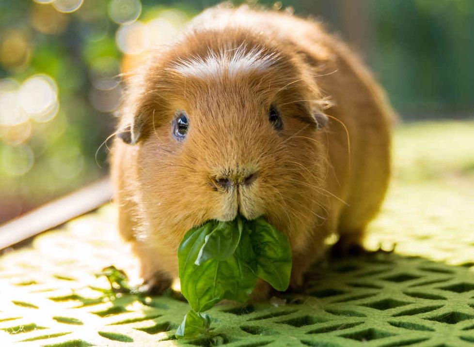 خوکچه هندی در حال سبزی خوردن
