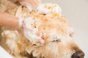 درمان شپش در سگ
