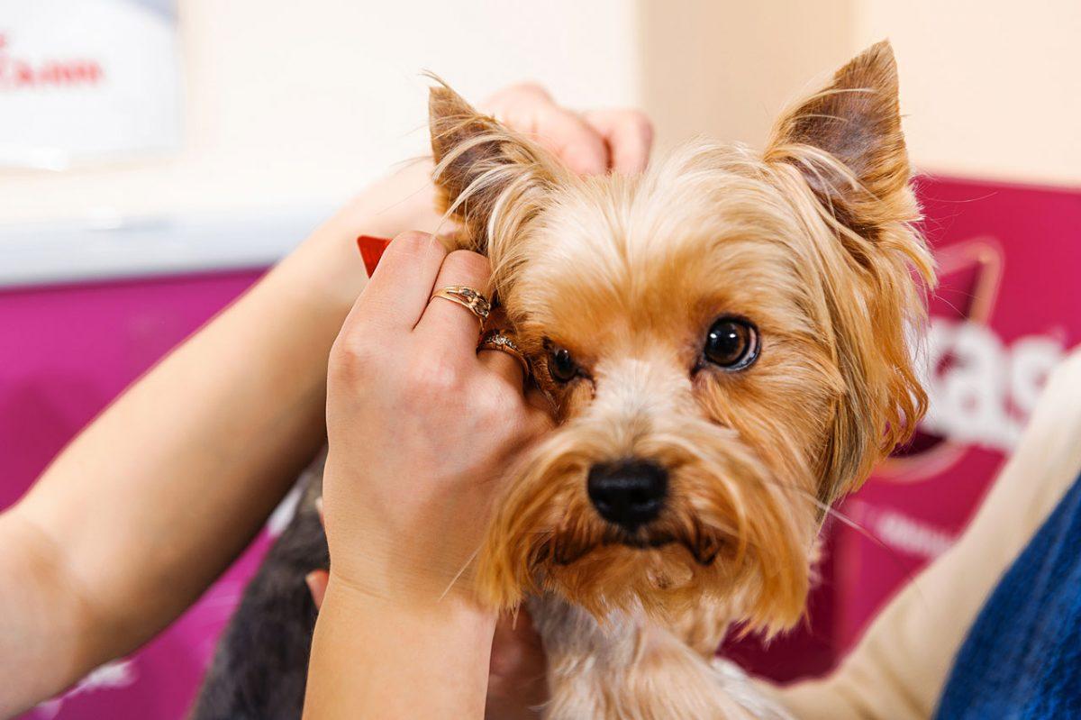 درمان شپش در سگ ها