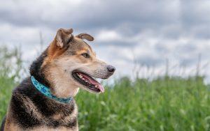 سگ قلاده ای در طبیعت