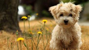سگ موکوتاه