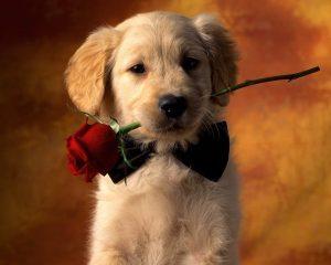 سگ و گل قرمز بر دهانش