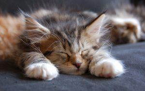بچه گربه خسته