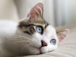 بچه گربه چشم ابی اروم