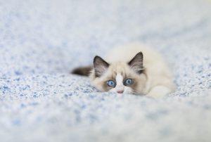 گربه چشم ابی با موی سفید