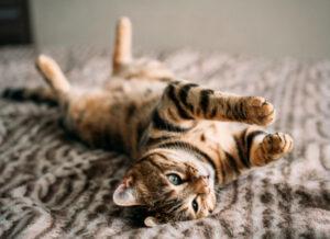 فلج شدن گربه