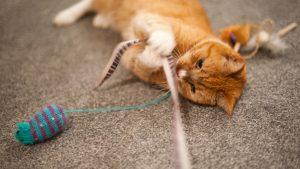 بازی کردن گربه