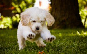 توله سگ سفید بازیگوش