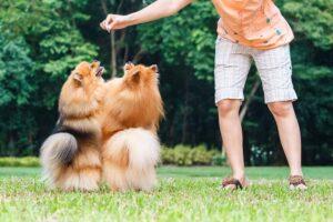 تربیت سگ پامرانین