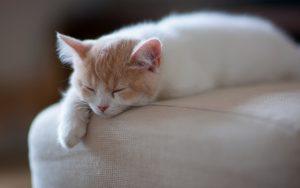 گربه سفید بی حال