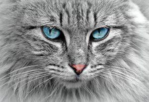 گربه چشم ابی