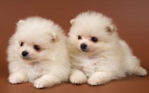 دو تا سگ خوشگل سفید