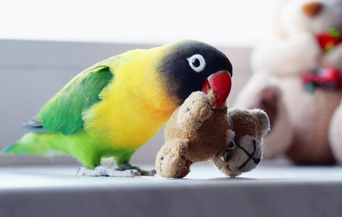 آشنایی با طوطی برزیلی یا لاوبِرد، پرندهای عاشقپیشه و کوچک!
