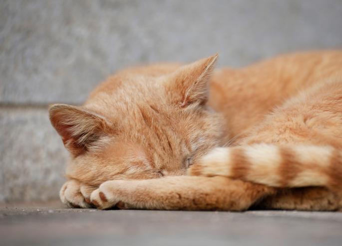 گربه حنائی مریض