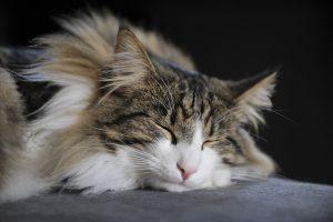 بچه گربه کسل