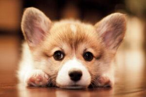 توله سگ خوشگل