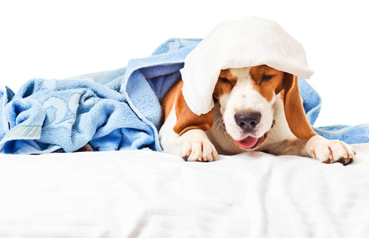دوران نقاهت بیماری در سگ