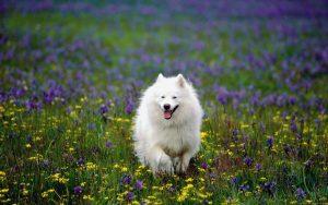 سگ اشپیتز در طبیعت