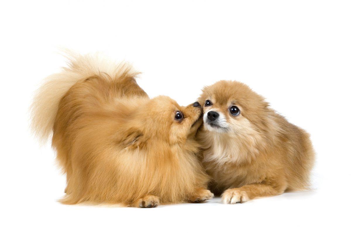 دوتا سگ پامرانین روباهی خوشگل