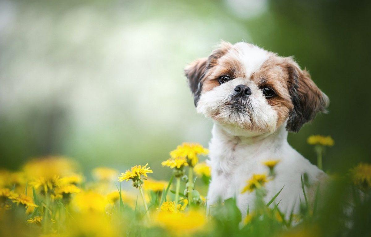 سگ دورنگ شیتزو