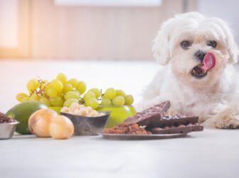 راهنمای انتخاب غذای سگ نژاد مالتیز
