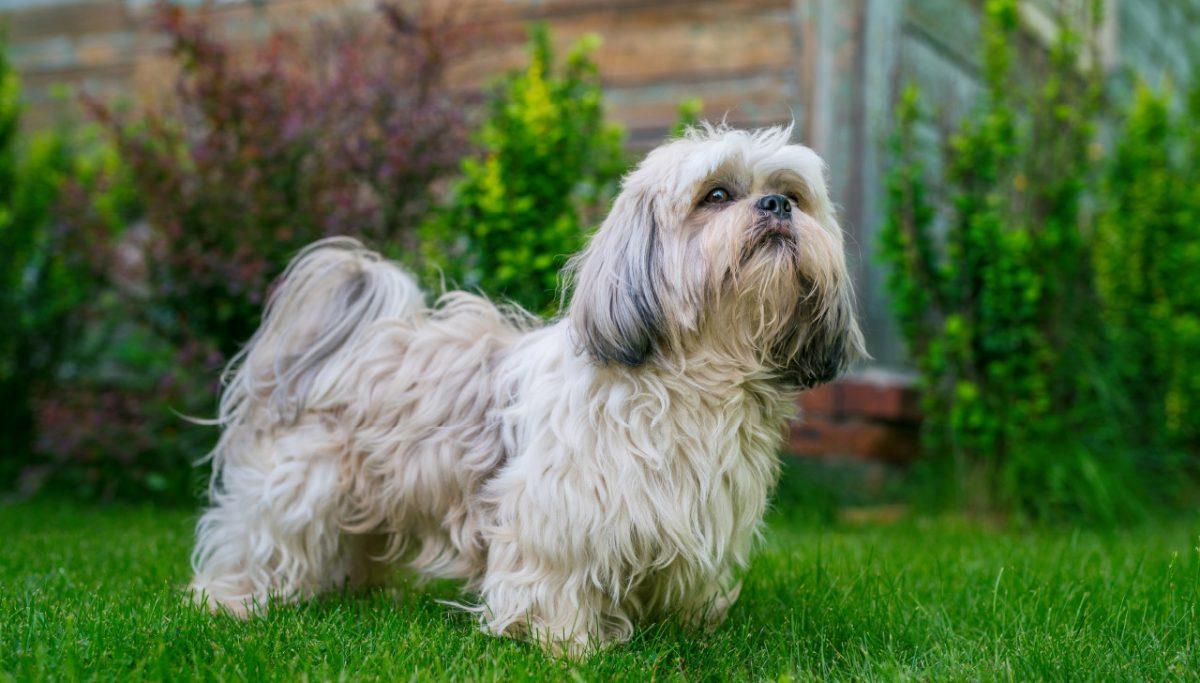 سگ شیتزو تریر خوشگل