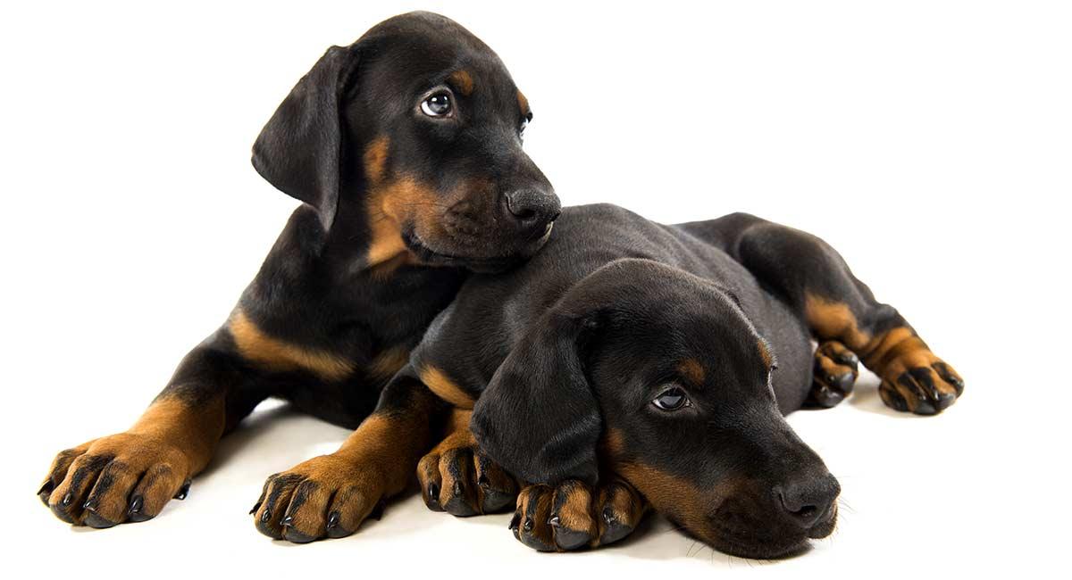 توله سگ های دوبرمن