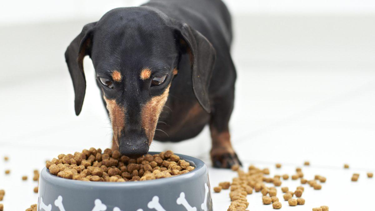 خوردن غذای خشک توسط سگ داکسهوند