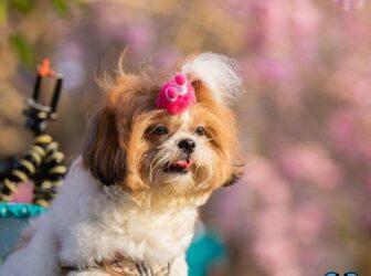 تربیت سگ شتیزوتریر، شیتزو و تریر
