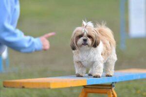 تربیت سگ شیتزوتریر