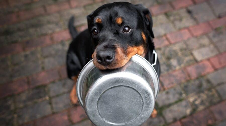 توله سگ رتوایلر