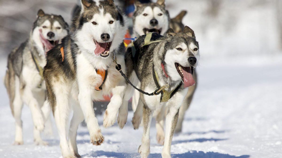 سگ های هاسکی سورتمه