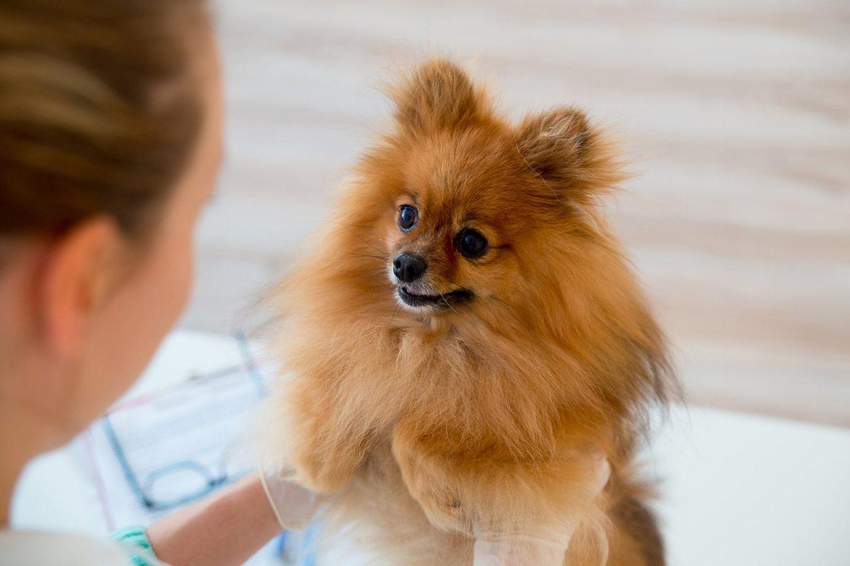 معاینه سگ پامرانین