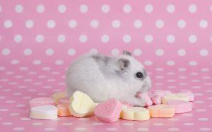 همستر خوشگل