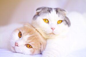 دوتا گربه اسکاتیش فولد