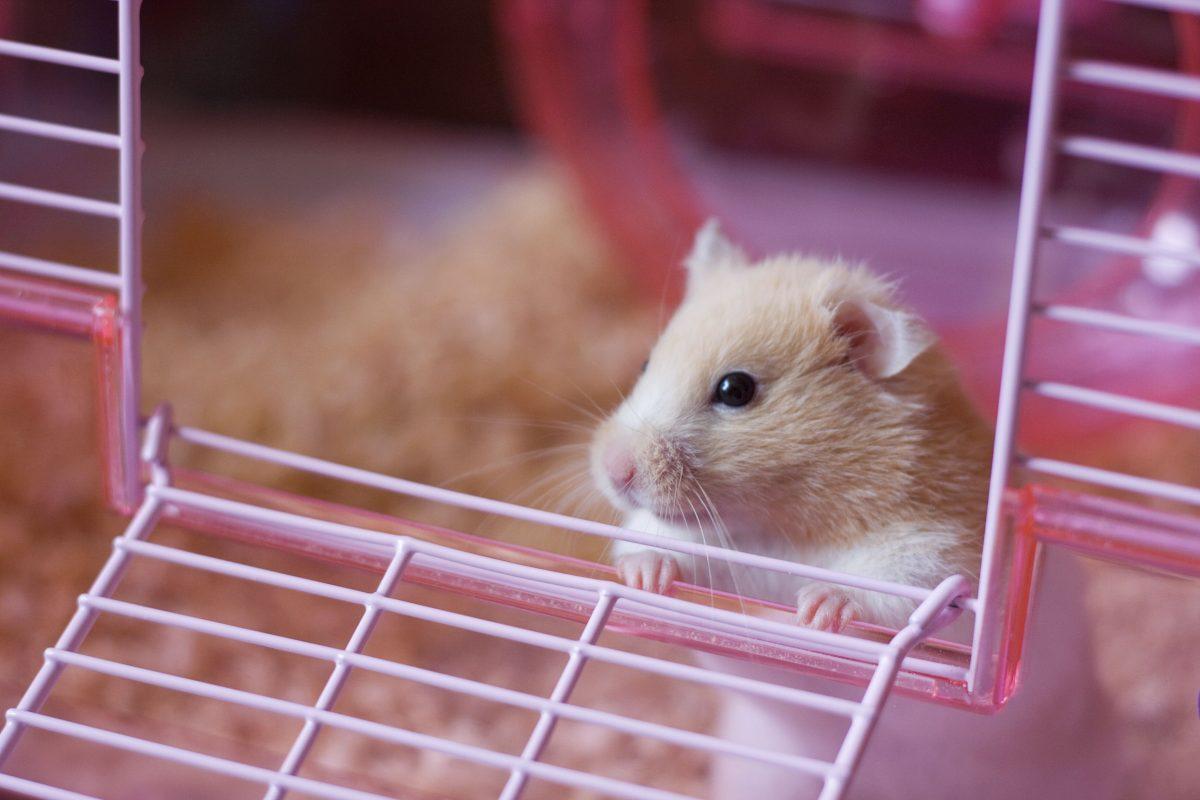 راهنمای نگهداری از همستر، حیوان خانگی کوچولو و بامزه!