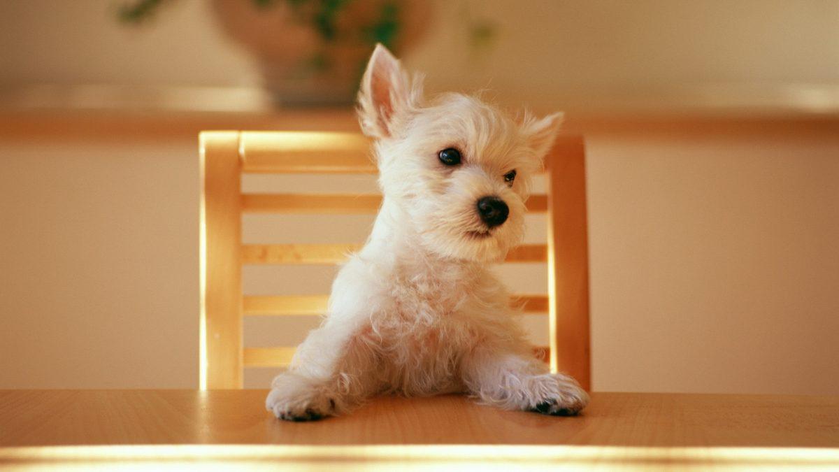 نشستن سگ روی صندلی