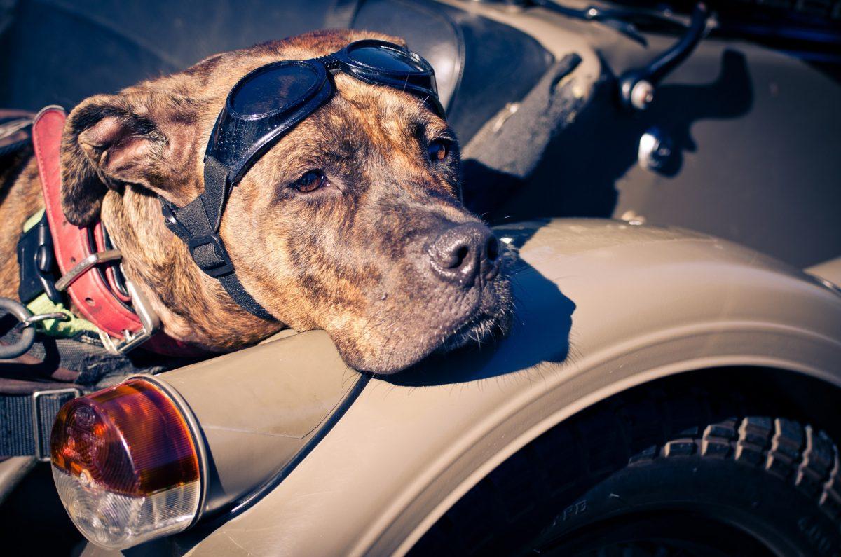 موتور سواری همراه سگ