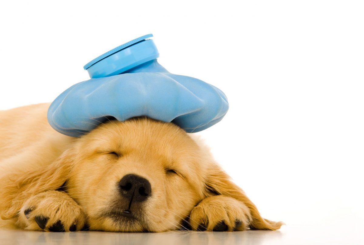استفاده از کیسه یخ برای سگ