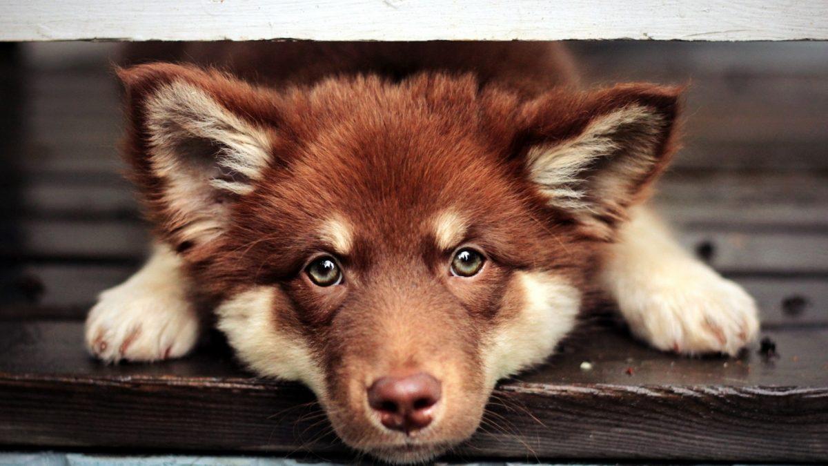 سگ چشم رنگی
