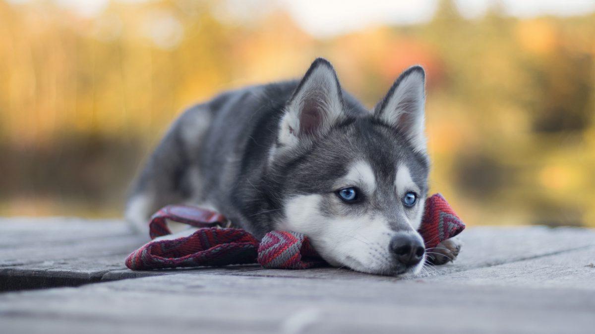 توله سگ هاسکی خوشگل