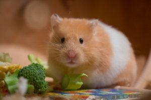 سبزیجات خوردن همستر